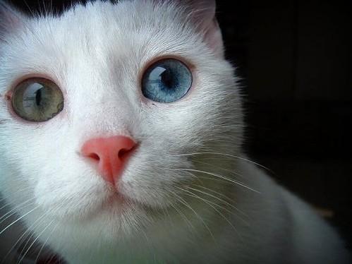 Odd-eyed cat. Heterochromia in Animal World