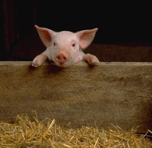 most Intelligent Animals Pig