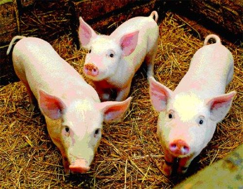 most Intelligent Animals Pigs