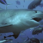 No other living thing can take better care of itself than a shark can!