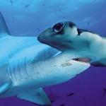 Eating Shark flesh is forbidden in both the Solomon and Fiji islands