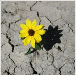 Growing on dried earth yellow flower