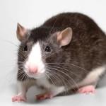 black and white rat