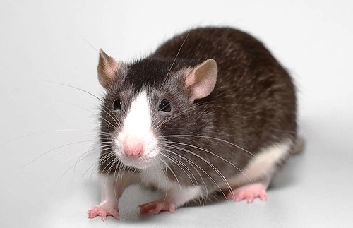 Interesting Facts About Rats  PetHelpful