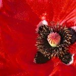 Red poppy. Bill Atkinson