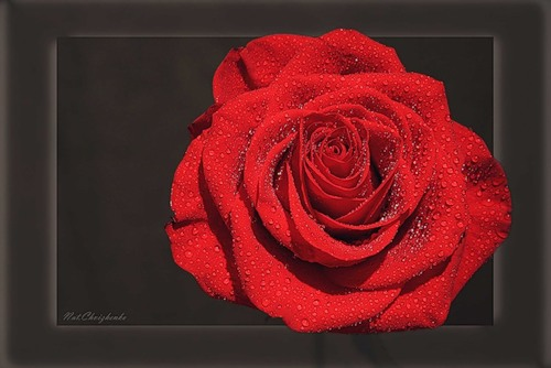Rose of England
