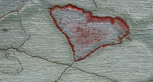 The fungi create this heart shape in the Audubon Corkscrew Swamp Sanctuary, Florida