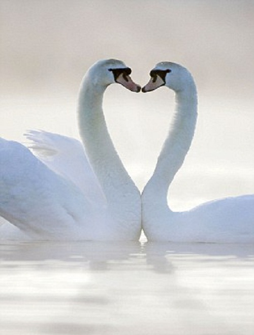 Two swans appear to kiss as they form a heart shape with their necks