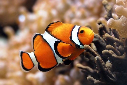Clown fish and their ability to change sex. Ocellaris clownfish, Amphiprion ocellaris