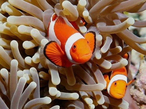 Ocellaris clownfish, Amphiprion ocellaris