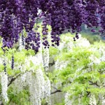 famous for its tunnel of glycine, or Wisteria Tunnel