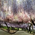Fabulous Japanese garden of flowers Kawachi Fuji