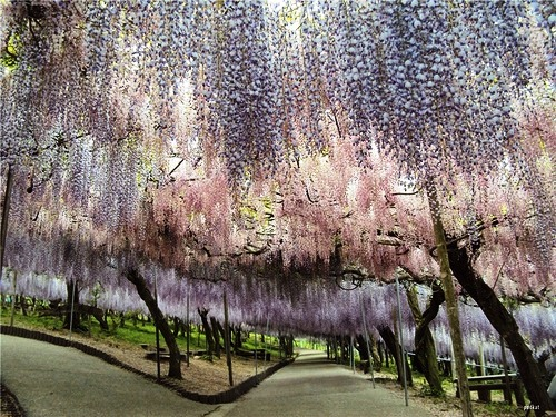 Japanese garden of flowers Kawachi Fuji
