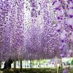 Beautiful garden of flowers Kawachi Fuji