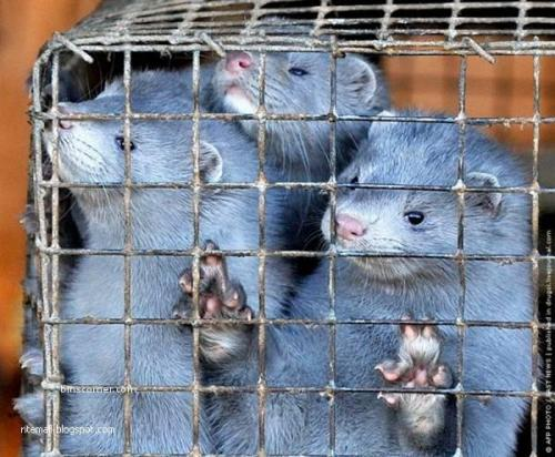 Cruelty to animals for Fashion. A mink farm in Wisconsin, the United States