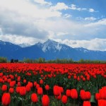 A sea of red tulips in the Fraser Valley