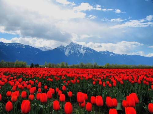 A sea of ​​red tulips in the Fraser Valley