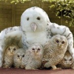 Funny picture of Owls under the protection of toy owl