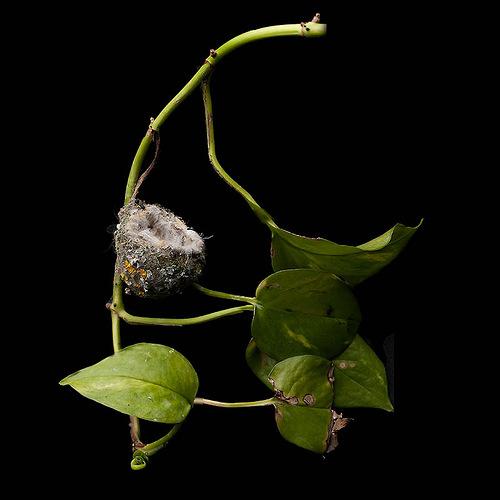 Allen's Hummingbird Nest