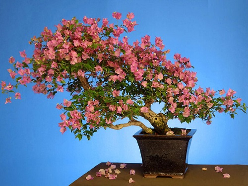 Beautiful plant Bougainvillea