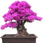 Stunning evergreen vine plant Bougainvillea