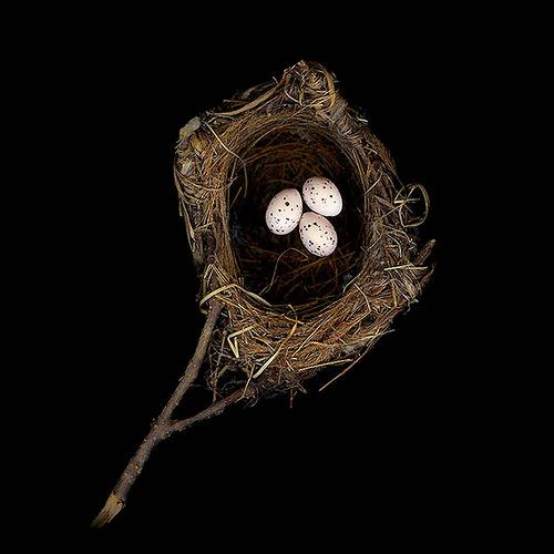 Black-Naped Oriole's Nest
