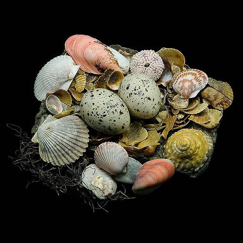 Caspian Tern's Nest
