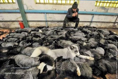 Cruelty to animals for Fashion. China are the largest importers of fur pelts in the world, therefore making them the largest re-exporter of finished fur products