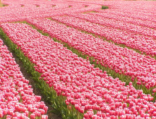 Field of pink tulips in Holland