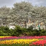 Fields of tulips in Ottawa