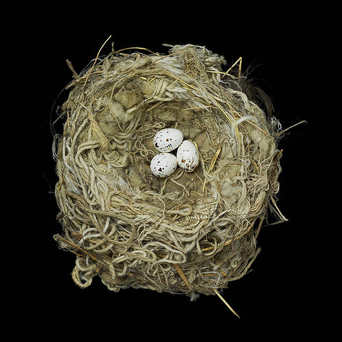 Magnolia Warbler's Nest