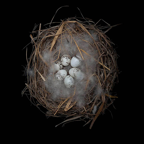 Meadow Bunting's Nest