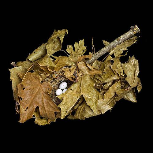 Pine Siskin's Nest