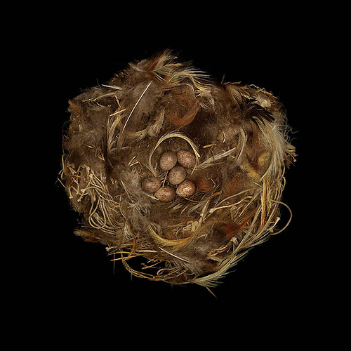 Rock Sparrow's Nest