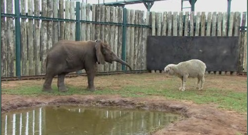 Sheep Albert and Themba, the elephant