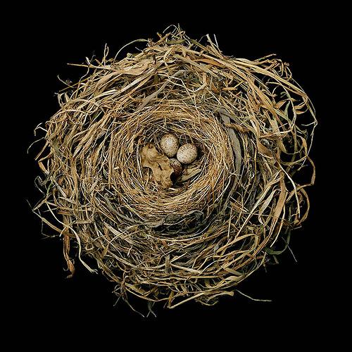 Song Sparrow's Nest