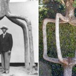 The Circus Trees of Axel Erlandson