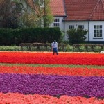 Typical tulip Fields in the Netherlands