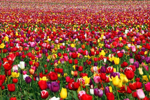 Tulip Field all over the world