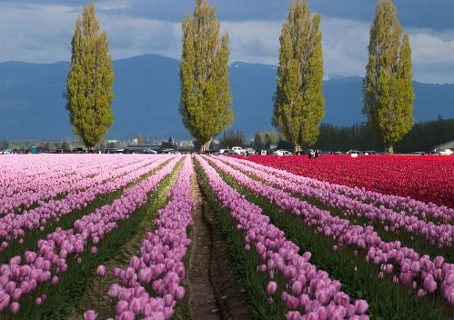 Tulip fields create a wonderful contrast with the environment