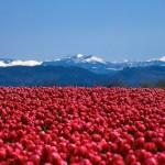 Scarlet sea of tulips