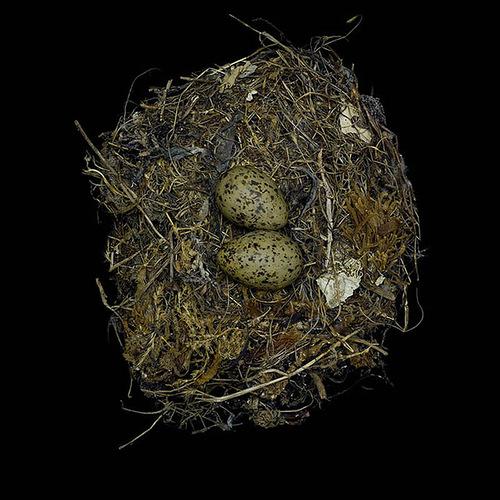 Western Kingbird's Nest
