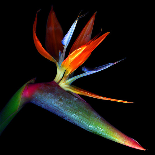 Lily. Beautiful flowers by Belgian professional photographer Magda Indigo
