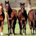 Four beauties, horse facts