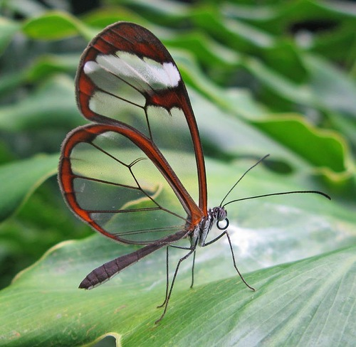 Glasswinged butterfly Greta oto