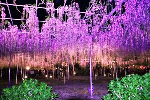 Divinely beautiful Ashikaga Flower Park