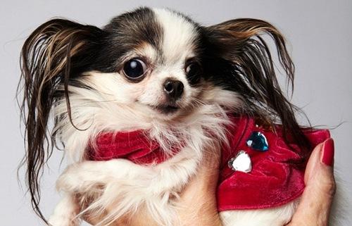 Boo Boo, a long-haired, female chihuahua