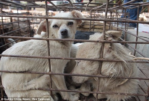 Hundreds of caged canines saved from the cooking pot