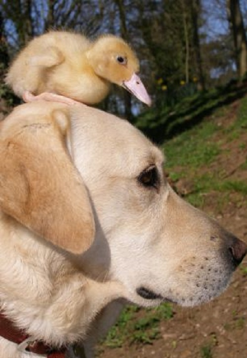Labrador adopts a duckling whose mother was killed by a fox