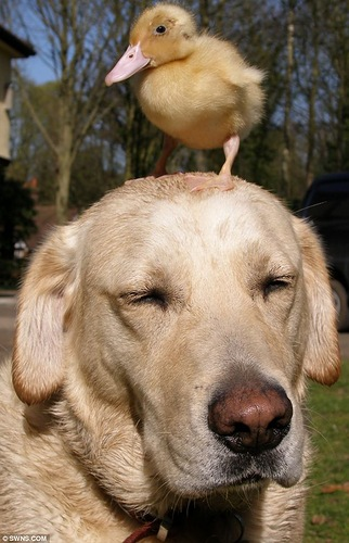 Labrador adopts bird whose mother was killed by a fox